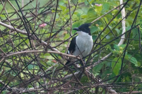 Pied-crested Cuckoo