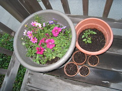 Petunias (etc), Tomato, Poppies