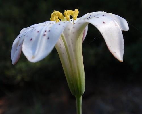 Redwood Lily 03