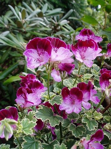 Geranium Pansy flower detail