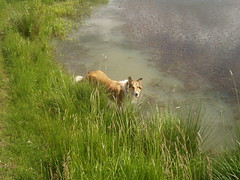 Wasser (manopet) Tags: dog collie hund mano meldorf torja