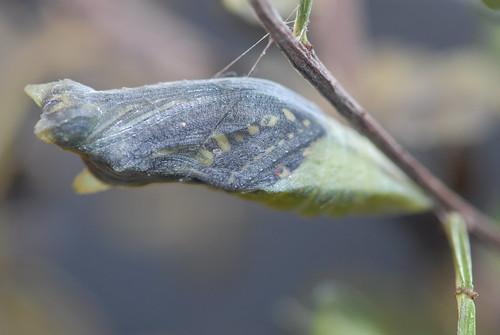 即將羽化的蛹