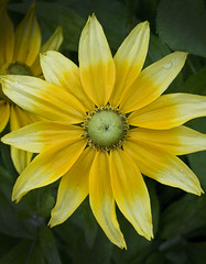 fleurs (phillgokool photography) Tags: life flowers flower water yellow french droplets tones spellingerror fench