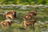 20090901-IMG_1690 (Robin100) Tags: africa animal mammal baboon ethiopia primate baboons gelada geladababoon guassa guassaplateau