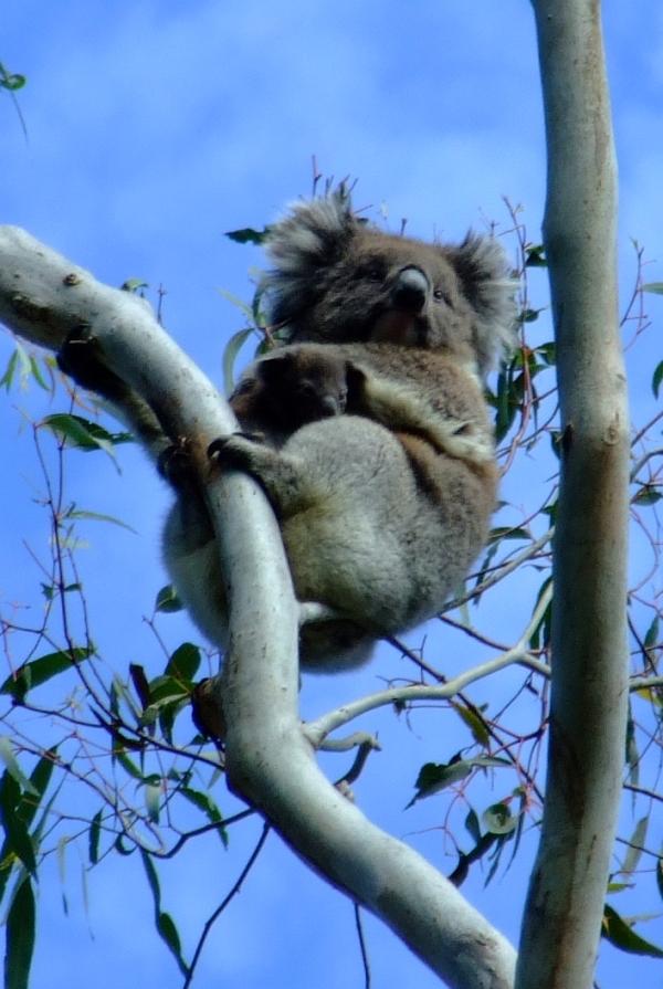 mama and baby koala 03