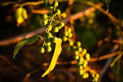 """""""Green Peas"""", Dugong Beach"""