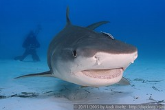 Happy (Tiger) Shark (Andi Voeltz) Tags: canon marine underwater scubadiving fins dpg underwaterphotography underwaterphoto tigershark wetpixel digideep hugyfot smilingshark lifetigersharktigershark andivoeltz