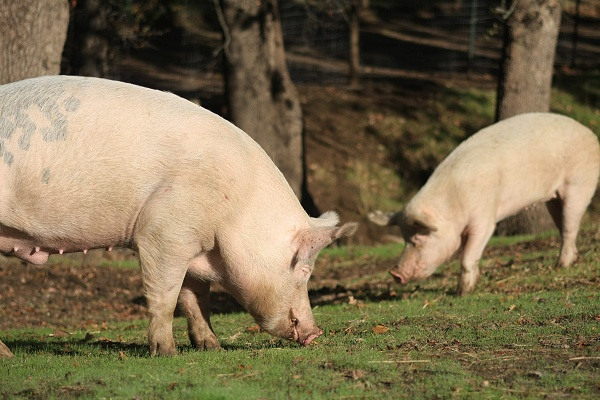 Chester and Susie pigs graze