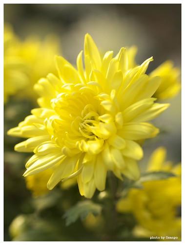 Chrysanthemum #02