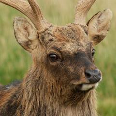 Posing (saxman1597) Tags: portrait nature beauty animals scotland eyes nikon stag wildlife deer grahampargeter pixelwagenphotography