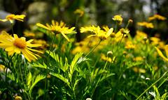 jardin-botanico-4 (sergiopacussich) Tags: flowers flores planta nature sergio yellow de buenos aires capital jardin ciudad amarillo botanico margarita palermo federal pacussich
