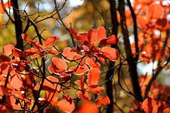 Rosso fuoco del Carso (paolo-55) Tags: nikon carso d300 friuliveneziagiulia cotinuscoggygria sommaco scotano 105mmvrmicronikkor carsogoriziano alberodellanebbia