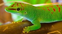 Madagascar Giant Day Gecko (julesnene) Tags: travel green reptile californiaacademyofsciences phelsumamadagascariensisgrandis canoneos50d madagascargiantdaygecko julesnene juliasumangil hardylizard