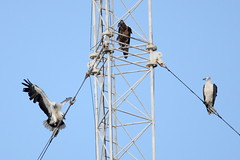 Sea-eagles On Radio Mast, 9th November (Calidris!) Tags: birds eagle sydney australia nsw eagles raptors seaeagle sydneyolympicpark homebushbay seaeagles whitebelliedseaeagle haliaeetusleucogaster