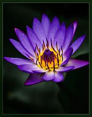 Water-lily (TT_MAC) Tags: friends flower nature hawaii pond flora waterlily maui soe diamondclassphotographer flickrdiamond platinumheartaward natureselegantshots newgoldenseal sublimeflowershot