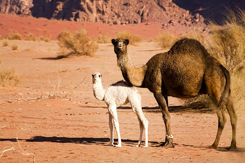 Dromedary baby, Wadi Rum, Jordan by Andrea Loria, on Flickr