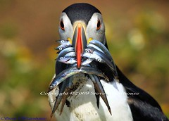 PUFFIN WITH SANDEELS # 24 (spw6156) Tags: copyright lens hand with iso 400 puffin mm 500 held sandeels flickraward fatbeedancinggull spw6156 stevewaterhouse copyrightstevewaterhouse