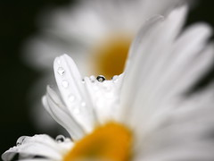 oops - a daisy (jenny downing) Tags: white blur flower macro wet water yellow closeup daisies lens petals blurry bokeh blurred drop drip sprinkler refraction daisy droplet delicate soggy afterrain aster waterdroplet watered michaelmasdaisy michaelmas jennypics oopsadaisy jennydowning photobyjennydowning