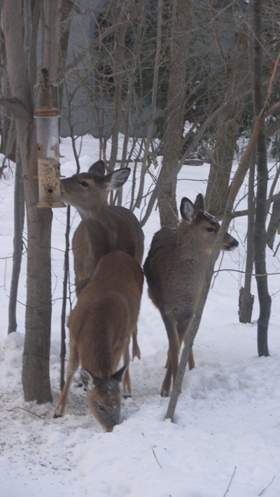 Winter Deer 3