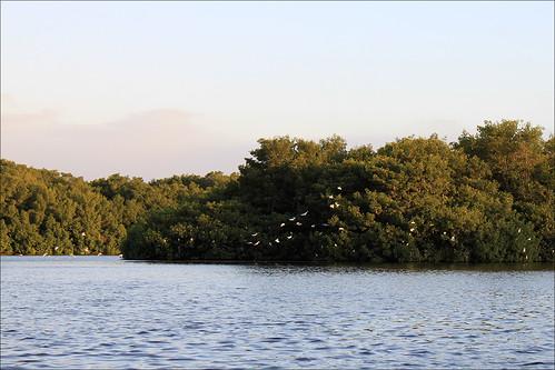 Fugle i Caroni mangroven