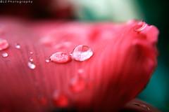 [...] ([L] di .zuma) Tags: macro closeup canon fiore rosso pioggia gocce scuro sfondo petalo lents