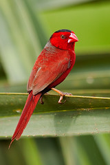 Crimson Finch (Neochmia phaeton) (Nolan Caldwell) Tags: birds nt australia finch northernterritory topend foggdam thetopend crimsonfinch neochmiaphaeton naturesgreenpeace