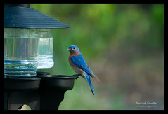 2010 NC Backyard Birds (Derrick Shultz) Tags: birds flickr wildlife feeder raleigh 2010 easternbluebird d90 nikon80400mmf4556 04162010
