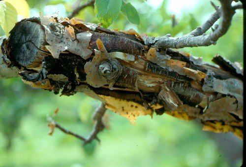 Black rot canker on an apple branch. Photo courtesy of Alan R. Biggs, West Virginia University.