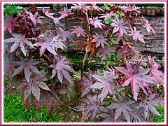 Ricinus communis with beautiful maroonish leaves (jayjayc) Tags: plants maroon seeds foliage malaysia kualalumpur seedpods shrubs neighbourhood castorbean castoroilplant ricinuscommunis reddishpurple palmateleaves jayjayc