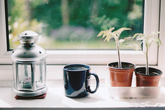 tomato plants (emilyharriet) Tags: film cup window coffee olympus om10 pot mug lantern tomatoplant