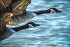 Canada Geese in flight - closeup (Bill Lindsay) Tags: orderanseriformes hdr animalia wildlife familyanatidae genusbranta classaves speciesbrantacanadensiscanadagoose pointedward ontario canada ca phylumchordata