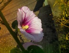 "16011-157 Rose de sharon (Hibiscus syriacus) 鲜花 花 꽃 (Rolye) Tags: flowers france flower fleur rose de yahoo google image samsung sharon blumen www images hibiscus com msn 1001nights aol baidu tw ops smörgåsbord lehavre syriacus beautysecret nv7 ""flickraward"""