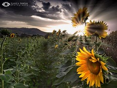 Sunflower's dream (Slavica Panova) Tags: macedonia sunflower theunforgettablepictures alemdagqualityonlyclub