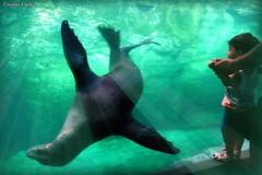 "Saying ""Hello"" (socalgal_64) Tags: hello ocean california ca light sea nature water animal mammal aquarium kid child pacific socal longbeach rays aquatic sealion flippers fins"