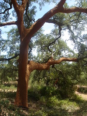 Cork (Eff Bee) Tags: brown tree green portugal nature living oak cork farming algarve agriculture oudoors