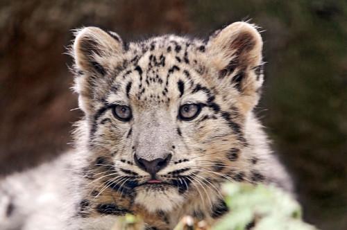 leopardo pequeño