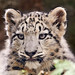 Portrait of a snow leopard cub