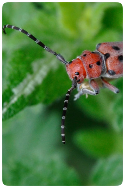 Sideways-beetle