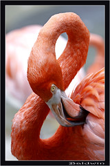 Figure 8 Flamingo (kblinkz) Tags: canon orlando florida flamingo seaworld caribbeanflamingo figure8 americanflamingo canonef70200mmf28lisusm chainlinkz kblinkz phoenicopterusruberglyphorhynchus canondigitalrebelxsi
