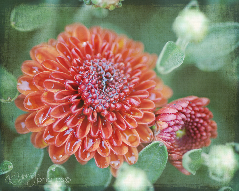 Chrysanthemum in the rain