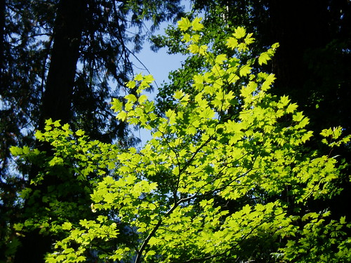 Acer circinatum backlit