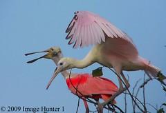 Roseate Spoonbill & Juvenile (Image Hunter 1) Tags: nature birds louisiana bayou swamp roseatespoonbill birdslouisiana