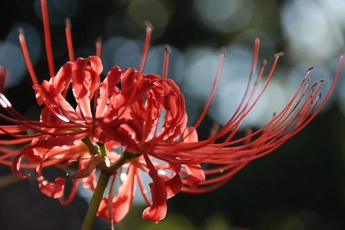 Spider Lily 2009 - その3