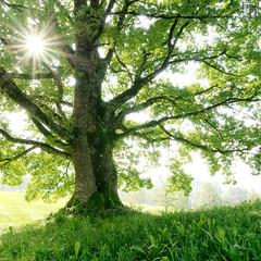 Pandora - The Tree of Soul (gregor H) Tags: sun tree green art misty backlight landscape dawn austria spirit avatar september genesis pandora aura treeoflife gettyimages dreamcatcher fogg vorarlberg underthetree walgau gardeneden satteins freshmorning fbdg thesecretlifeoftrees treeofsoul utrayamokri
