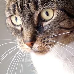 Closeup Zus (Cajaflez) Tags: portrait pet cute closeup cat kat chat whiskers gato katze portret gatto poes cc300 cc200 cc100 mywinners kissablekat bestofcats alittlebeauty saariysqualitypictures newgoldenseal