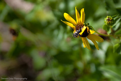 Bee Too (Steve Gray) Tags: flowers nature yellow fauna daisies canon insect islands wings flora gulf florida bee foliage national adobe daisy fl breeze winged seashore yellowflowers lightroom gulfislandsnationalseashore gulfbreezefl gulfbreezeflorida canon5dmkii