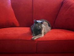 The Red Sofa (EButterfield Photography) Tags: red cats cat rouge rojo kitten chat sofa domestic gato loveseat  gatto kater kot gimli  kaz korat dsh chaton gattino katti  quttah chasul kotyonok
