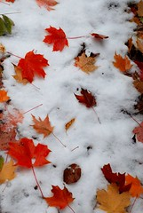 leaves on snow (Anitab) Tags: snow fall leaves westvirginia mapleleaf