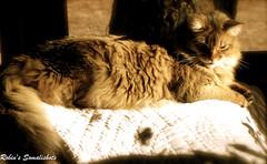 Sunny boy, Horse (Jagerbunny) Tags: somalicat somalis ruddysomali catnipaddicts