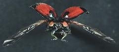 5  6282 -840002 -640 (h35312) Tags: 5  640 coleoptera swartz coccinellidae 6282  lemnia 840002     biglagiata